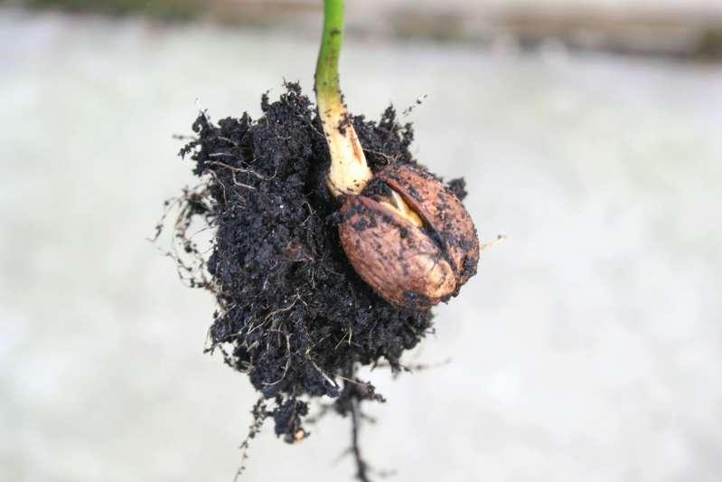 Выращивание фундук из ореха в домашних условиях 12